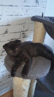 BKK schottisch fold Kitty
