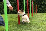 Ausgebildete reinrassige Jack Russel Terrier