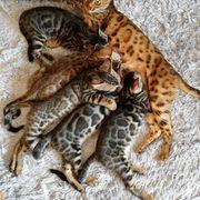 Wunderschöne Bengal Kitten mit Stammbaum