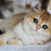 Suche BKH-Kitte weiblich