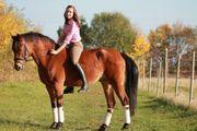 Suche Reitbeteiligungs-Pferd auf A L-Niveau