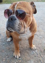 Bulldogge Bulldog Deckrüde