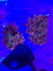 Meerwasser Salzwasser Anemone Koralle