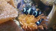 Meerwasser Amphiprion ocellaris schwarz NZ