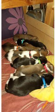 Süße Beaglewelpen zu verkaufen