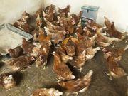 Legehennen Hühner braune