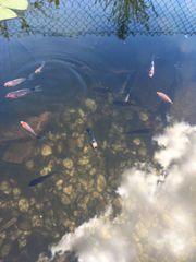 Teichfische abzugeben