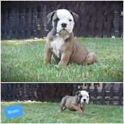 Olde English Bulldogge Welpen