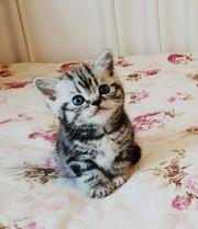 Süße kleine Tiger zu verkaufen