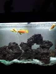 Fische Aquarium yellow Barsche und