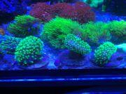 Weichkorallen Korallen Korallenableger Meerwasser