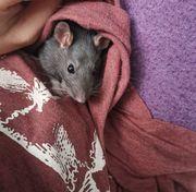 8 Ratten Damen suchen ein