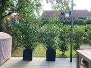 Oleander 5 Stück super schön