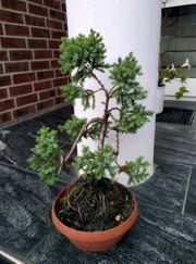 Bonsai Holunder