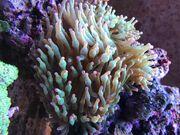 Entacmaea quadricolor Blasenanemone Meerwasser