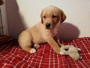Labrador Ausi Mix Welpen