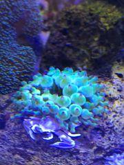 Anemone Meerwasser Meerwasseraquarium