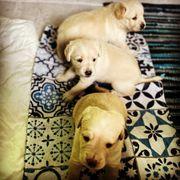 Labrador- Sava Bracke Mix Welpen
