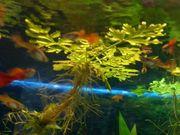 Suche Schwimmpflanze