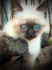 RAGDOLL Kitten ColourPoint
