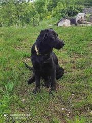 1 J Labrador Hündin schwarz