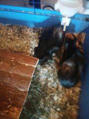 2 Meerschweinchen Mädchen 4Monate alt
