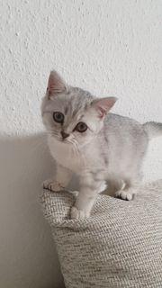 Wunderschöne reinrassige BKH Kitten