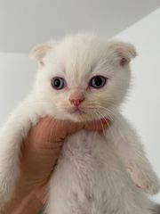 bkh scottishfold kitten red point