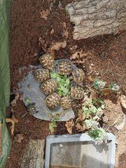 noch 3 griechische Landschildkröten von