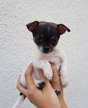 Chihuahua Mini Rehpinscher Mix Welpe