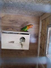 Zwerg Papageien