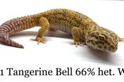 Leopardgecko Eublepharis macularius Tangerine Bell