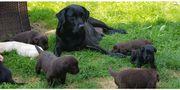 Labrador Welpen wunderhübsch