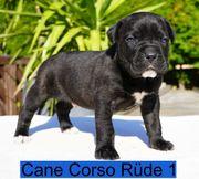 Cane Corso Welpen für Liebhaber