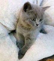 BKH Britisch Kurzhaar Kitten Kater
