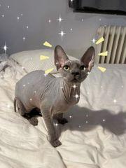 Sphynx Wunderschöner Kater 4 Monate
