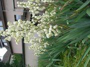 1 x Jungpflanze Rhizom Ableger