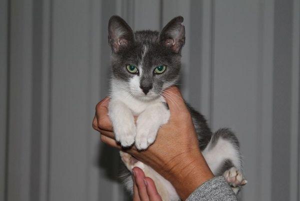 Kater Mister Grey 4 Monate
