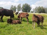 Shetland Pony - Stutfohlen