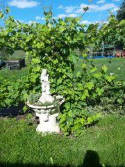 rumänische weintraubenpflanze rot alte wurzel