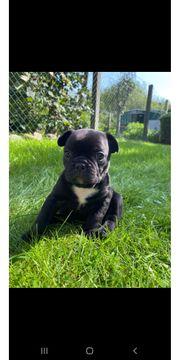 Französische Bulldoggenmädchen