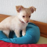 Hübscher kleiner Chihuahua