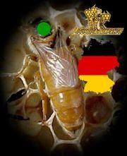 Ligustica Bienenköniginnen