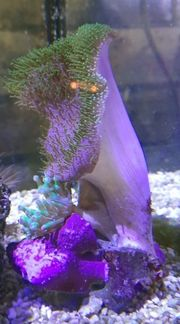 Meerwasser Pilzlederkoralle Crassa Anemone