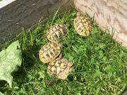 Griechische Landschildkröten THB Nachzuchten 2020