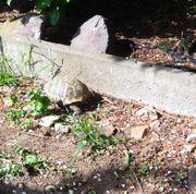 Griechische Landschildkröten Schildkröten zu verkaufen