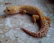 2 leopardgecko weibchen aus 2018