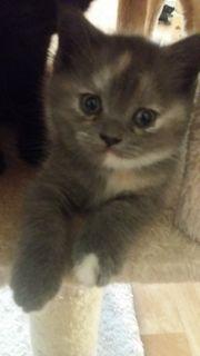 BKH Kitten süß Blue Bäbys