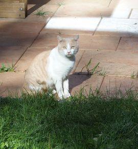 Entlaufen, Entflogen - Katze zugelaufen aus Lochau oder