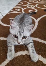 Kitten Britisch Kurzhaar